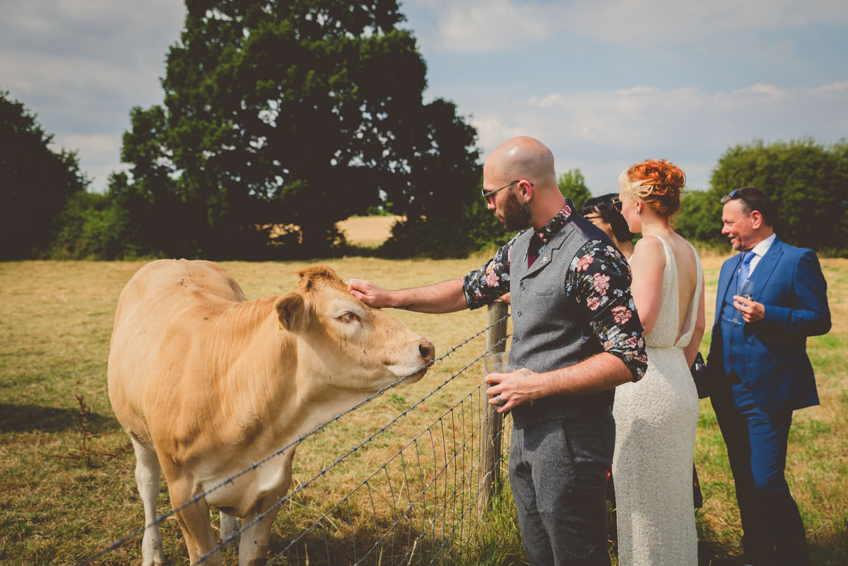 cows at weddings